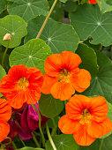 Brightly colored nasturtium flowers