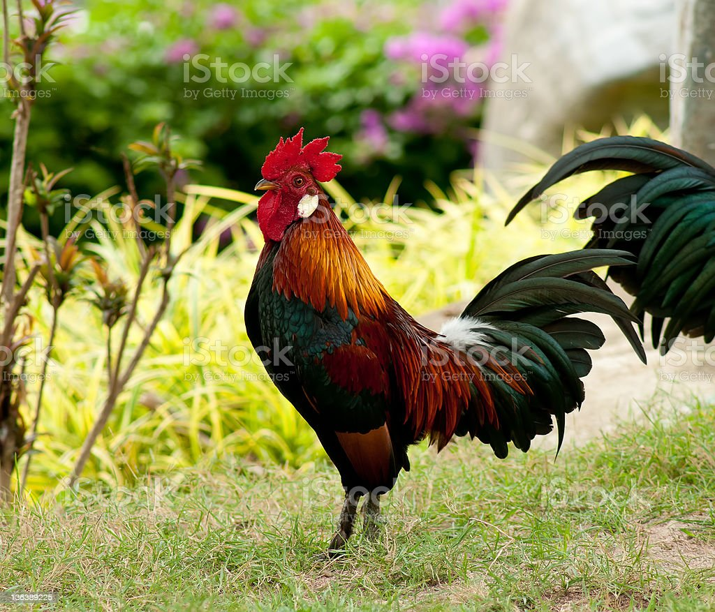 brightly colored rooster royalty-free stock photo