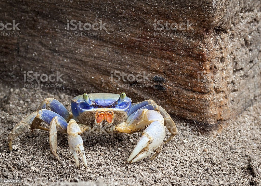 Brightly colored sand crab stock photo