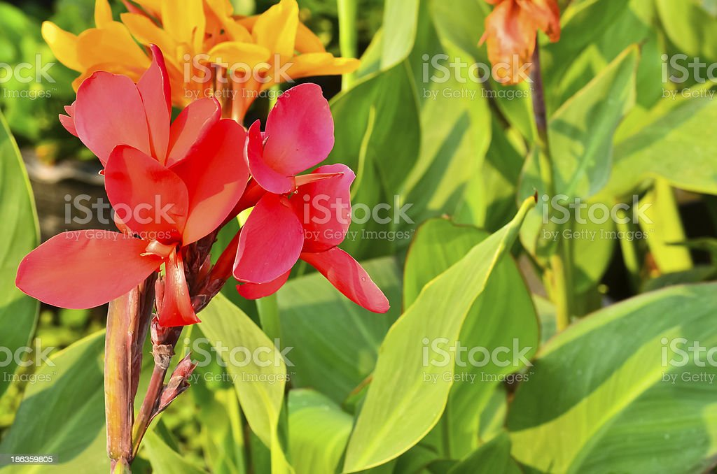 Brightly colored scarlet canna lily flowers stock photo
