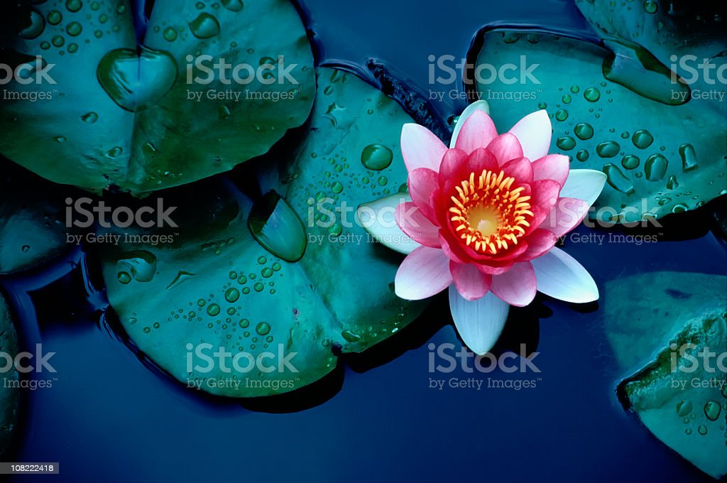 Brightly colored water lily floating on a stil pond stock photo