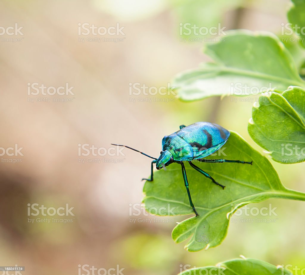 Brightly Coloured Jewel Bug Beetle stock photo