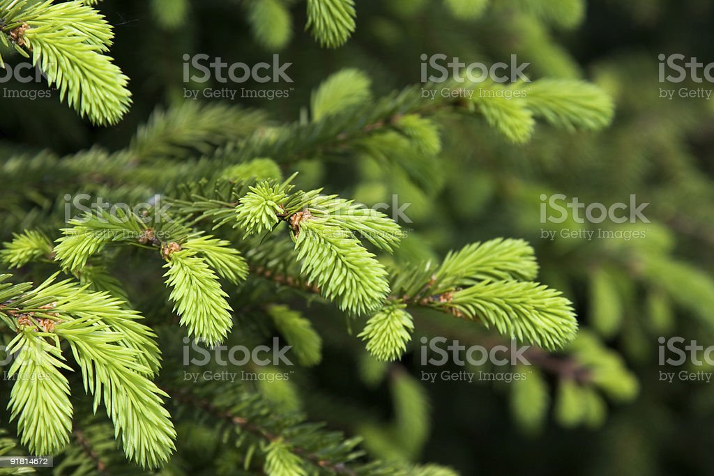 Brightly green prickly branches of a fur-tree or pine royalty-free stock photo