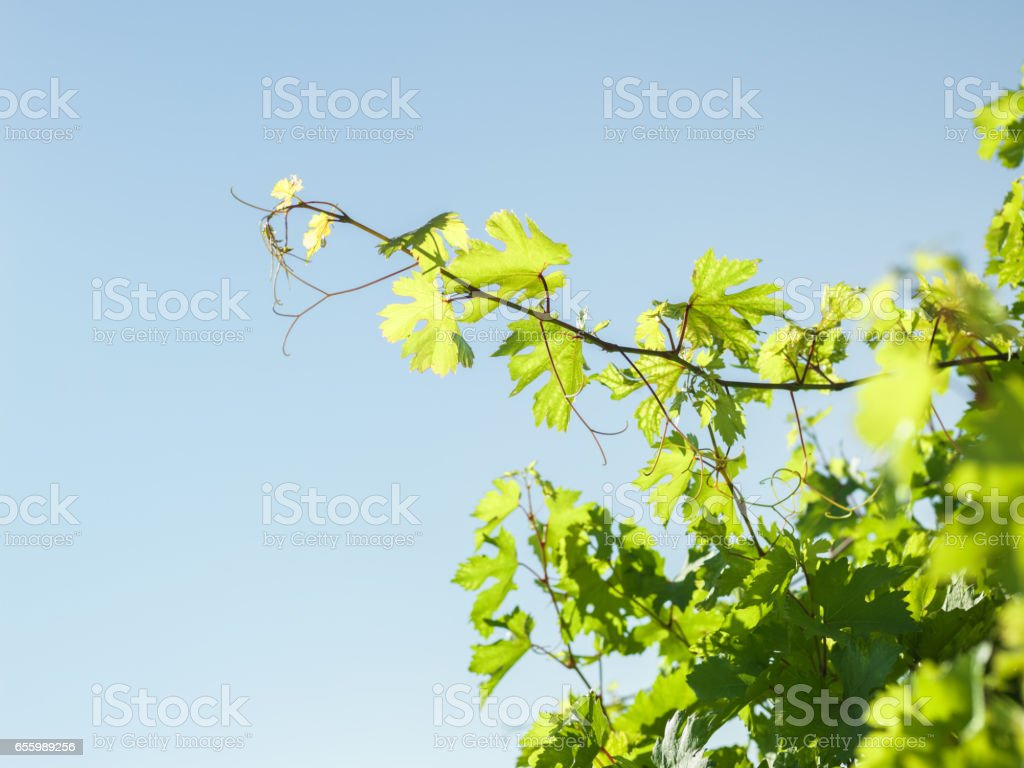 Brightly Lit Green Grape Leaves On Clear blue Sky stock photo