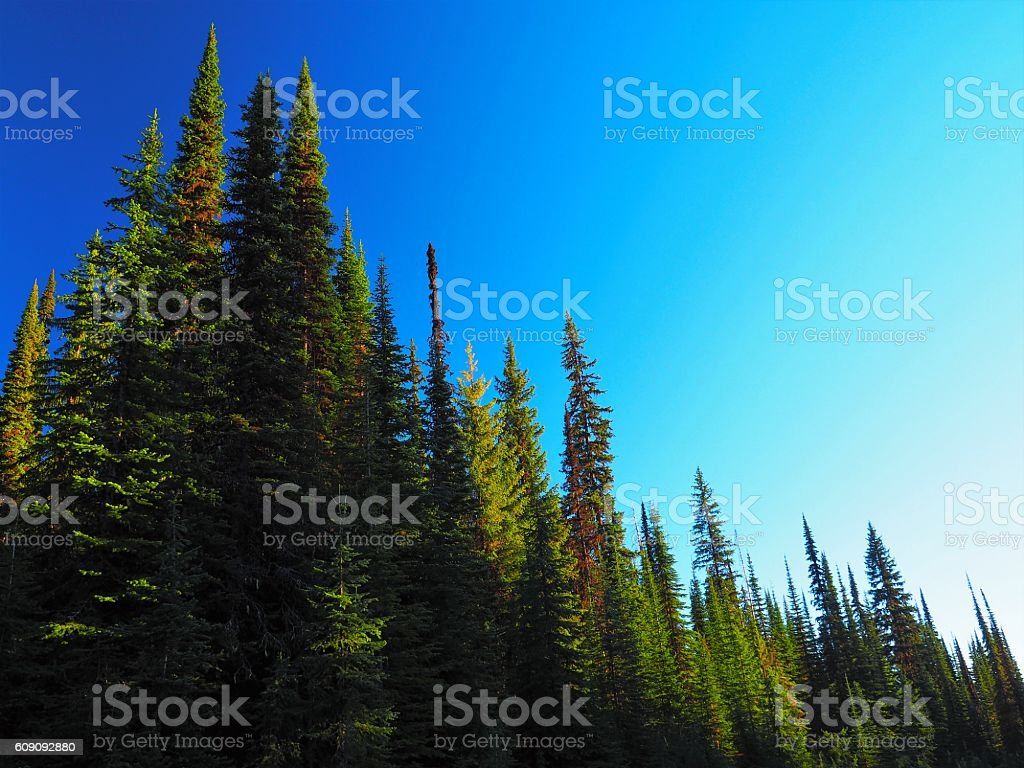 Brightly Lit Pine Tree Forest Against Blue Sky stock photo