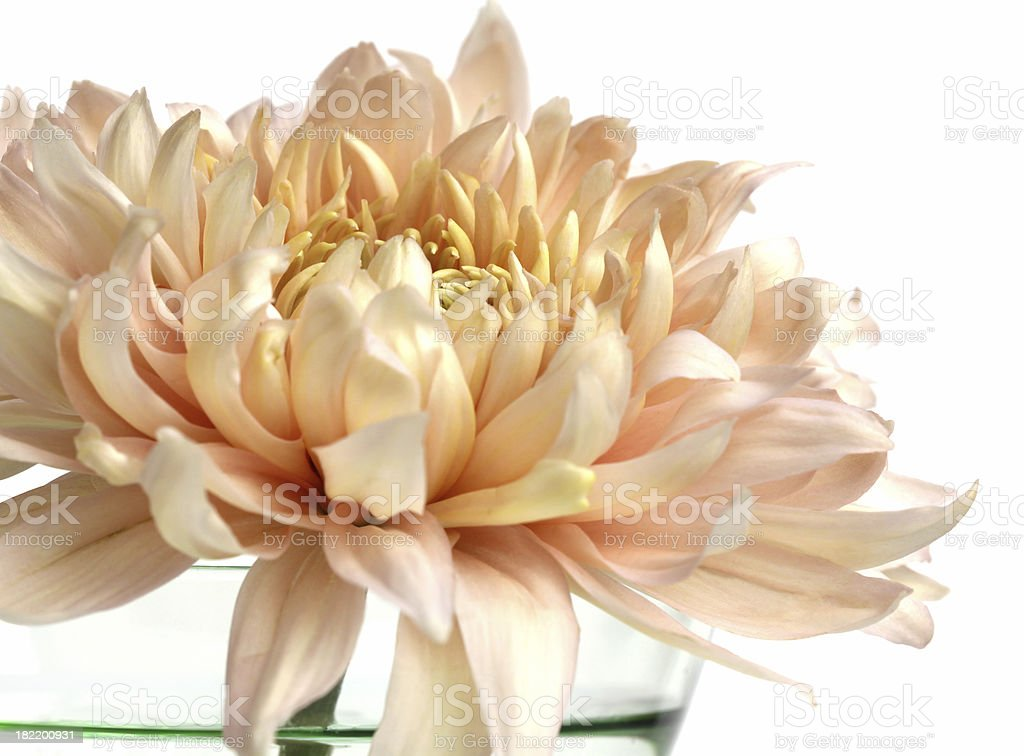 Brightly lit  single Chrysanthemum flower in vase royalty-free stock photo