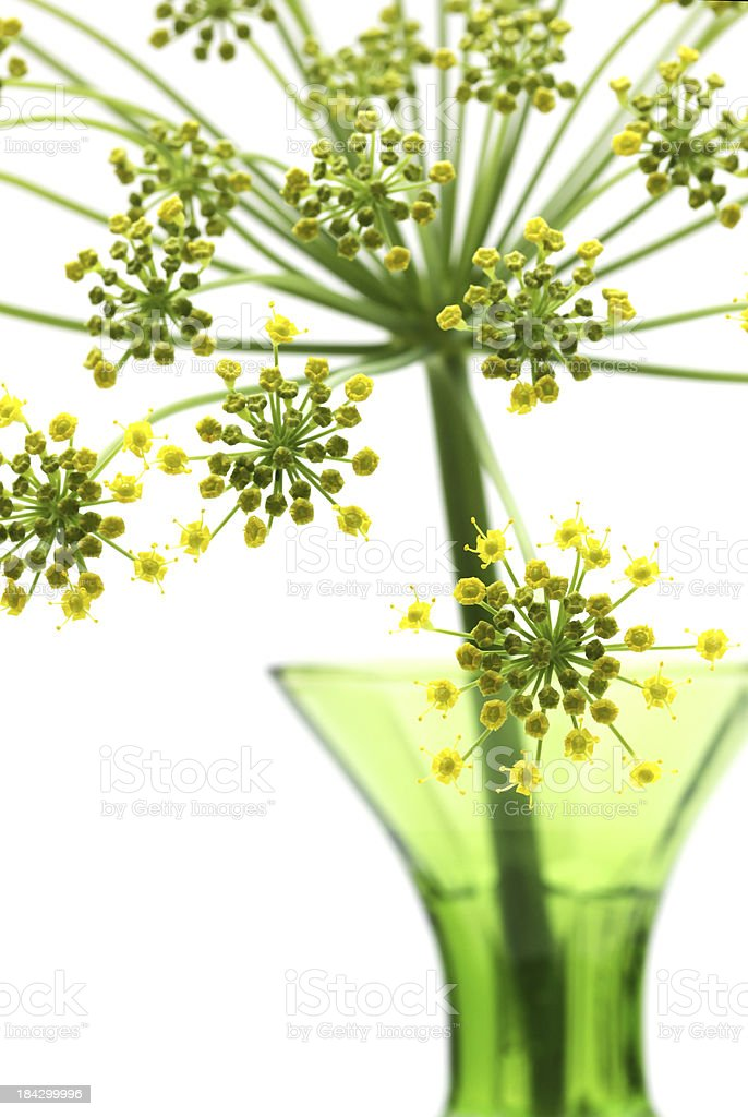 Brightly lit wild fennel flower royalty-free stock photo