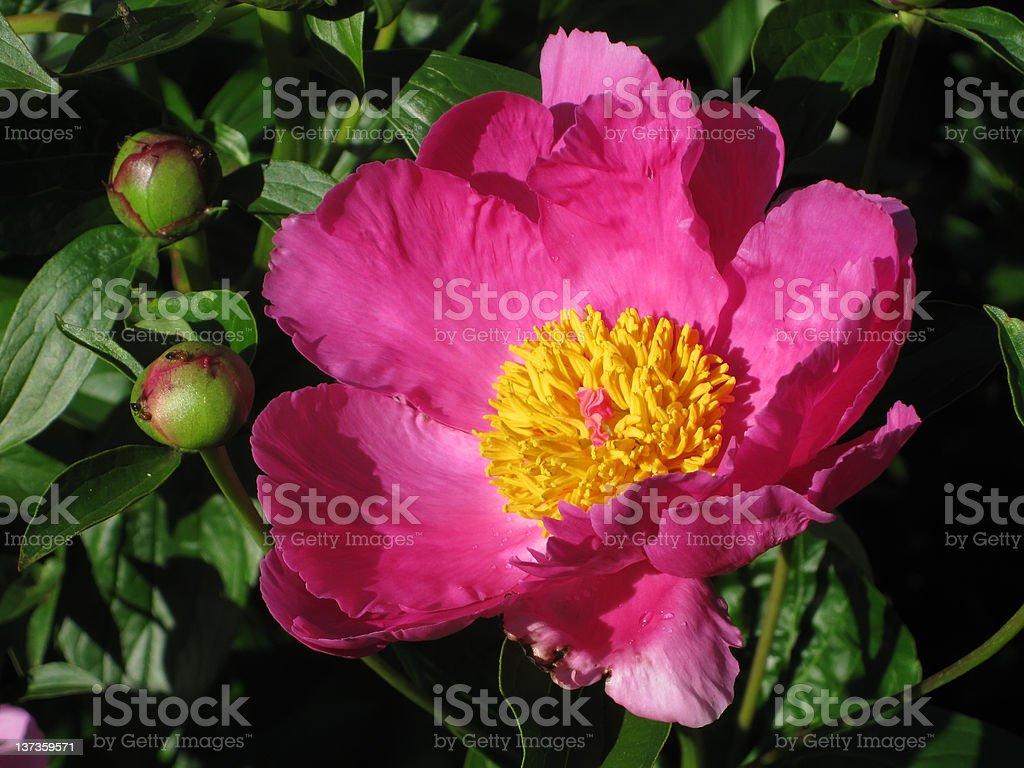 Somptueusement décorée de rouge Pivoine fleurs Floraison photo libre de droits