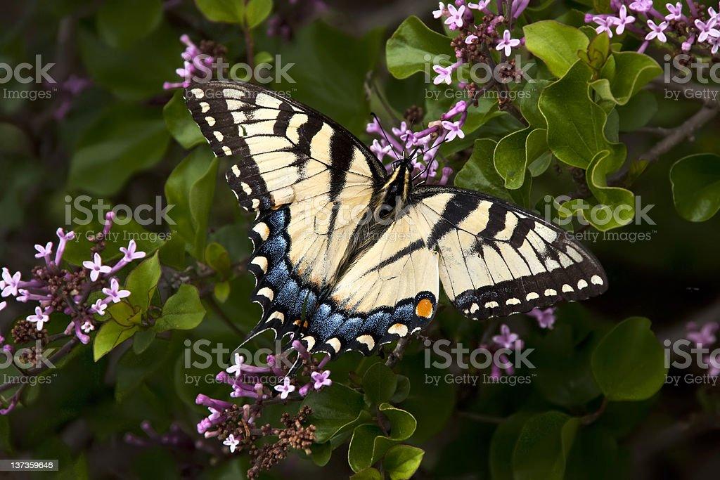 Brighty couleur Papilio phorcas photo libre de droits