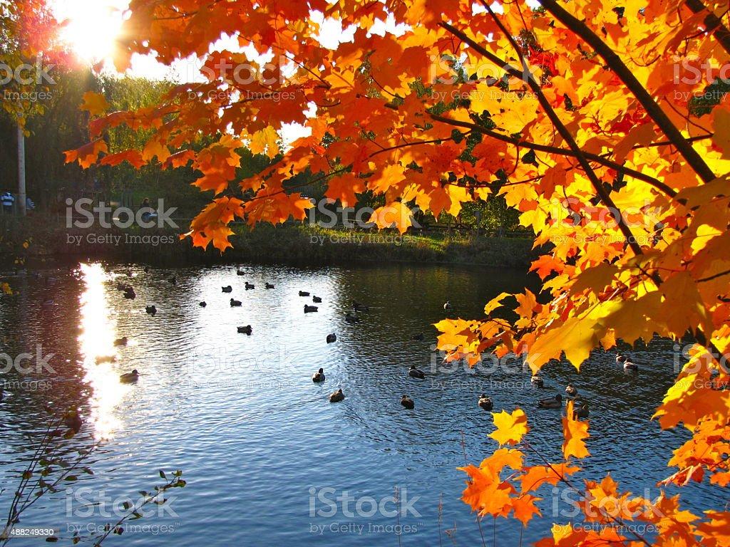 Brilliant Autumn Foliage wit Ducks on Pond stock photo