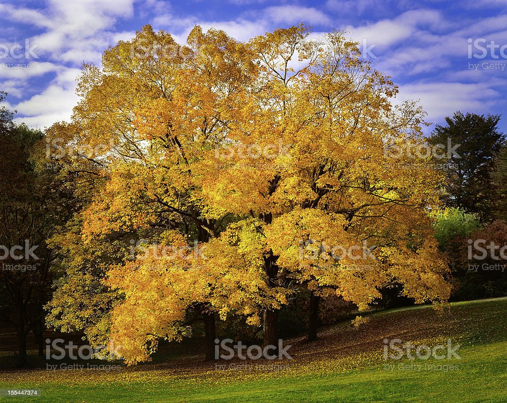 brilliant autumn maple trees near Philadelphia royalty-free stock photo
