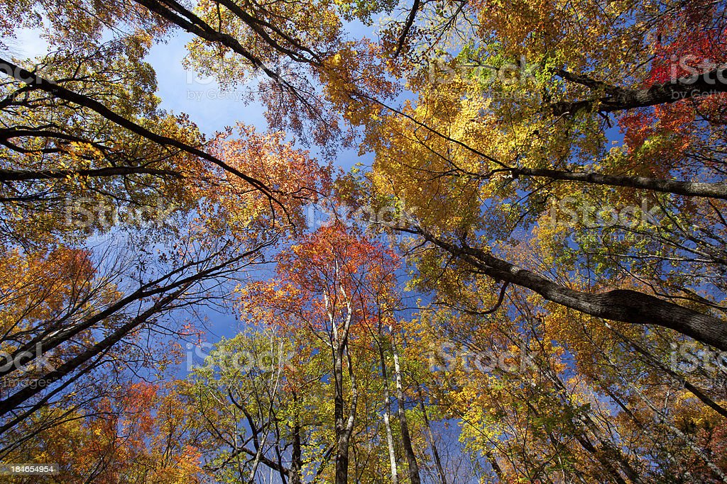 Brilliant Autumn Trees royalty-free stock photo