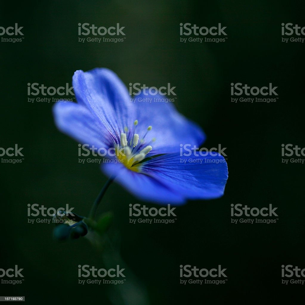 Brilliant Blue Flax Flower stock photo