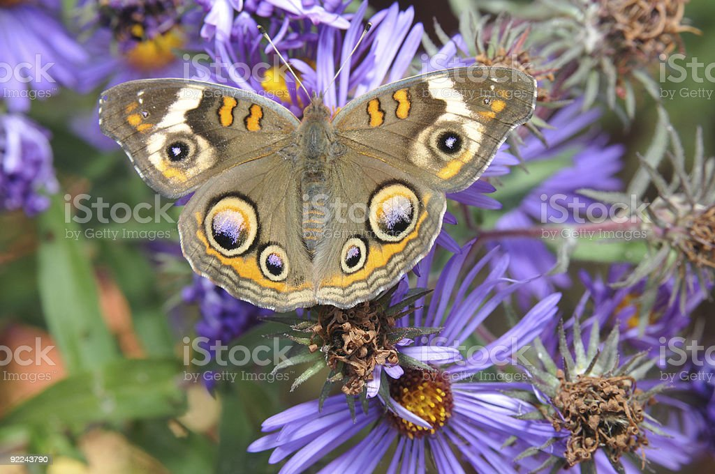 Brilliant Colored Butterfly royalty-free stock photo