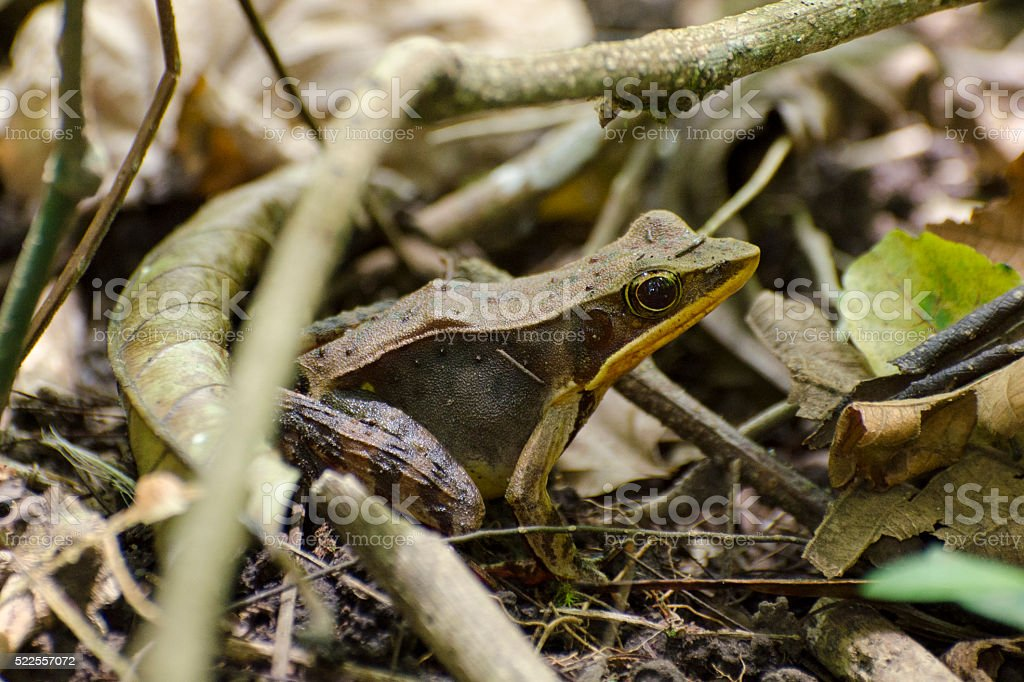 brilliant forest frog, Rana warszewitschii stock photo