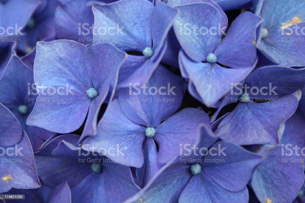 Brilliant Hydrangeas stock photo