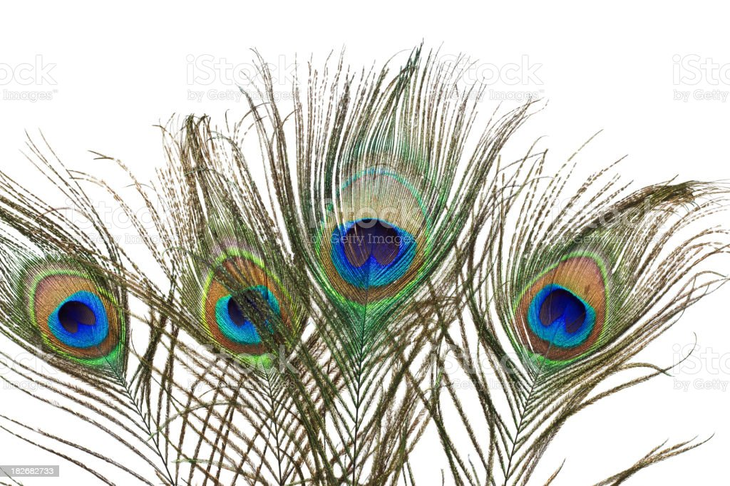 Brilliant Peacock Feathers royalty-free stock photo