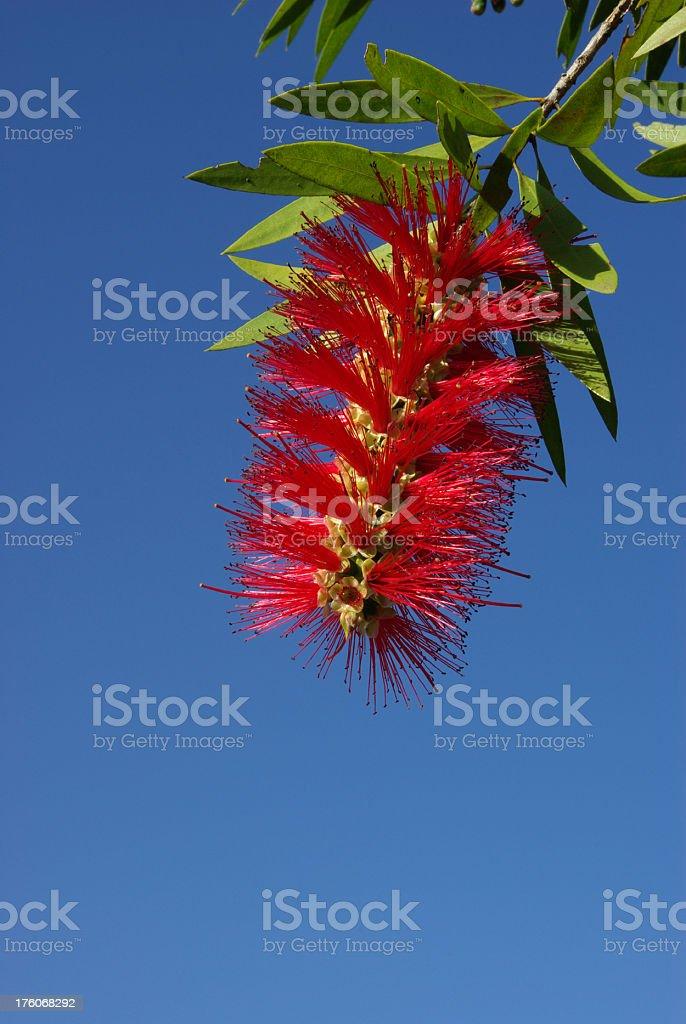Brilliant red Bottlebrush or Callistemon flower stock photo