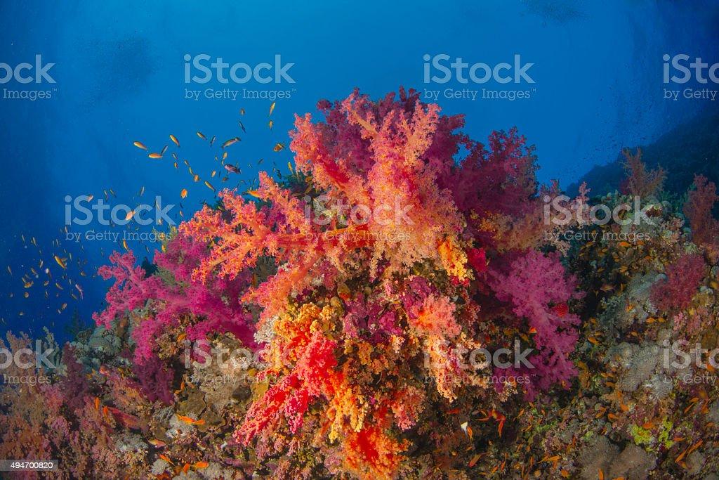Brilliant soft coral colony stock photo
