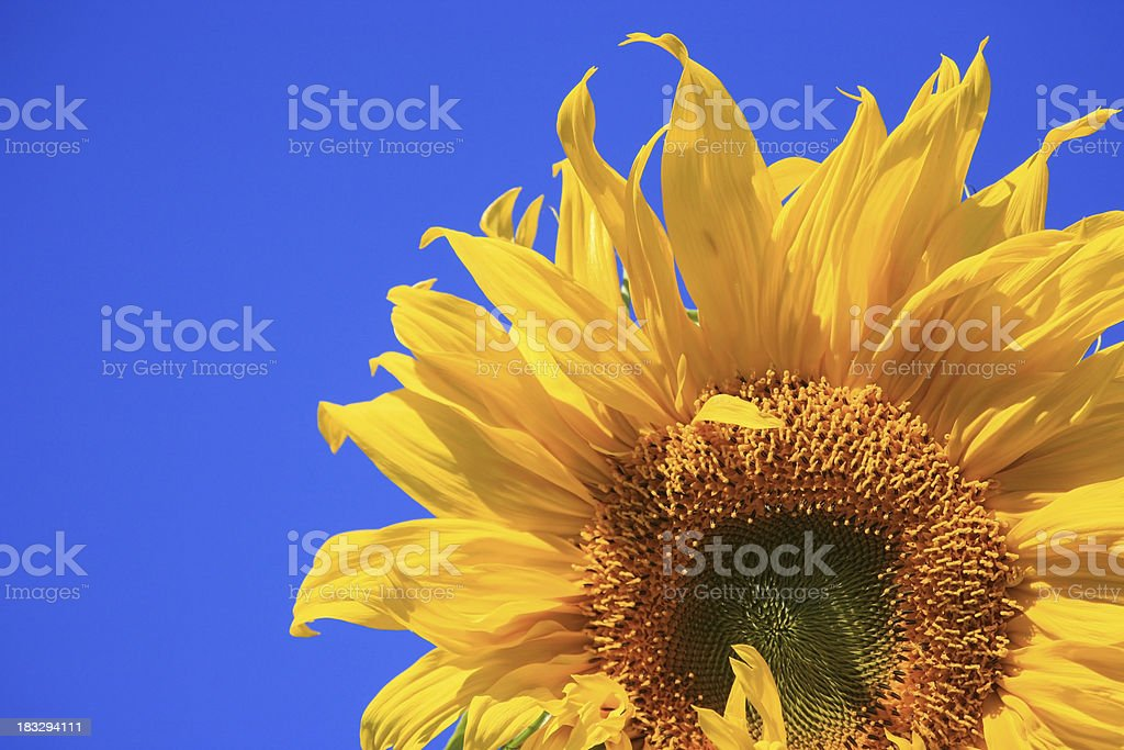 Brilliant Sunflower and Sky Mammoth royalty-free stock photo