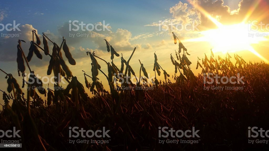 Brilliant Sunset Showcases Soybean Plants stock photo