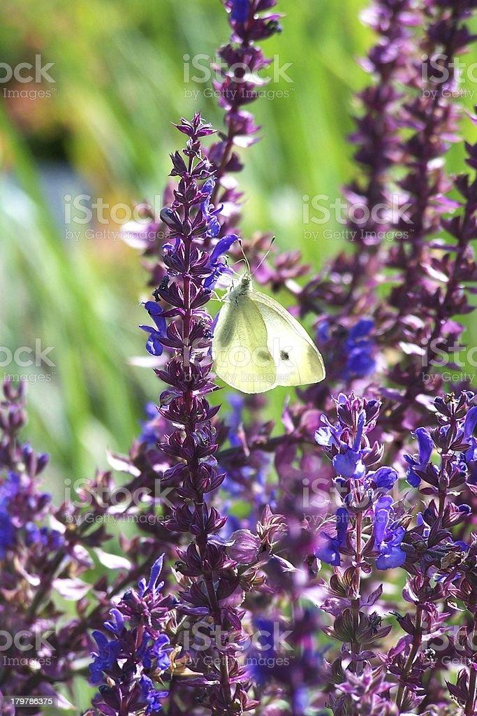 brimstone butterfly royalty-free stock photo