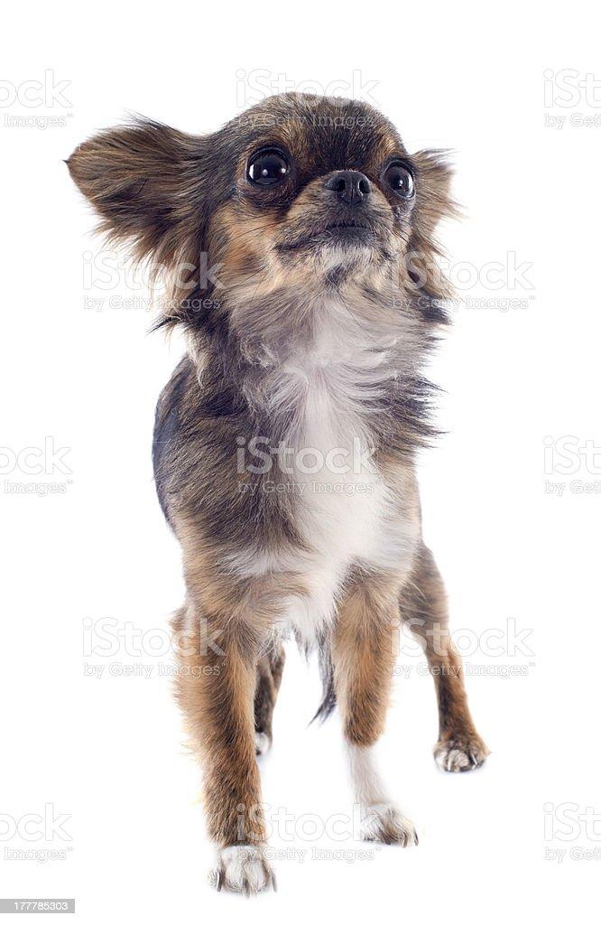 brindle chihuahua royalty-free stock photo