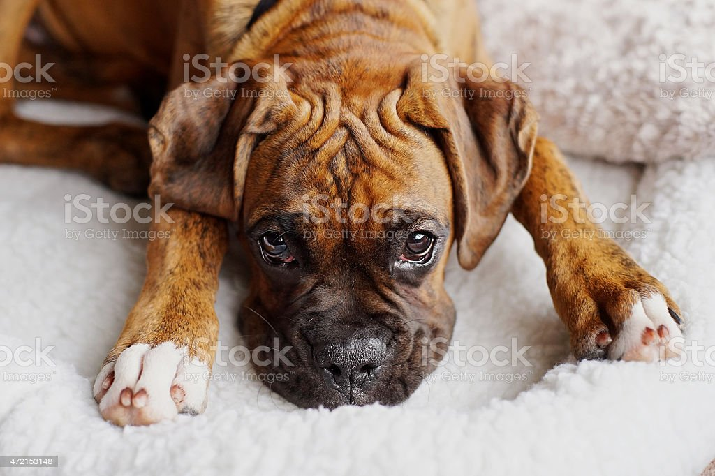 Brindle classic purebred boxer puppy dog closeup wrinkled forehead stock photo