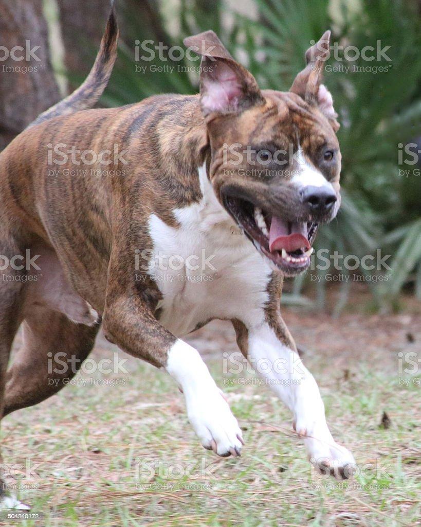 Bringé chien de photo libre de droits