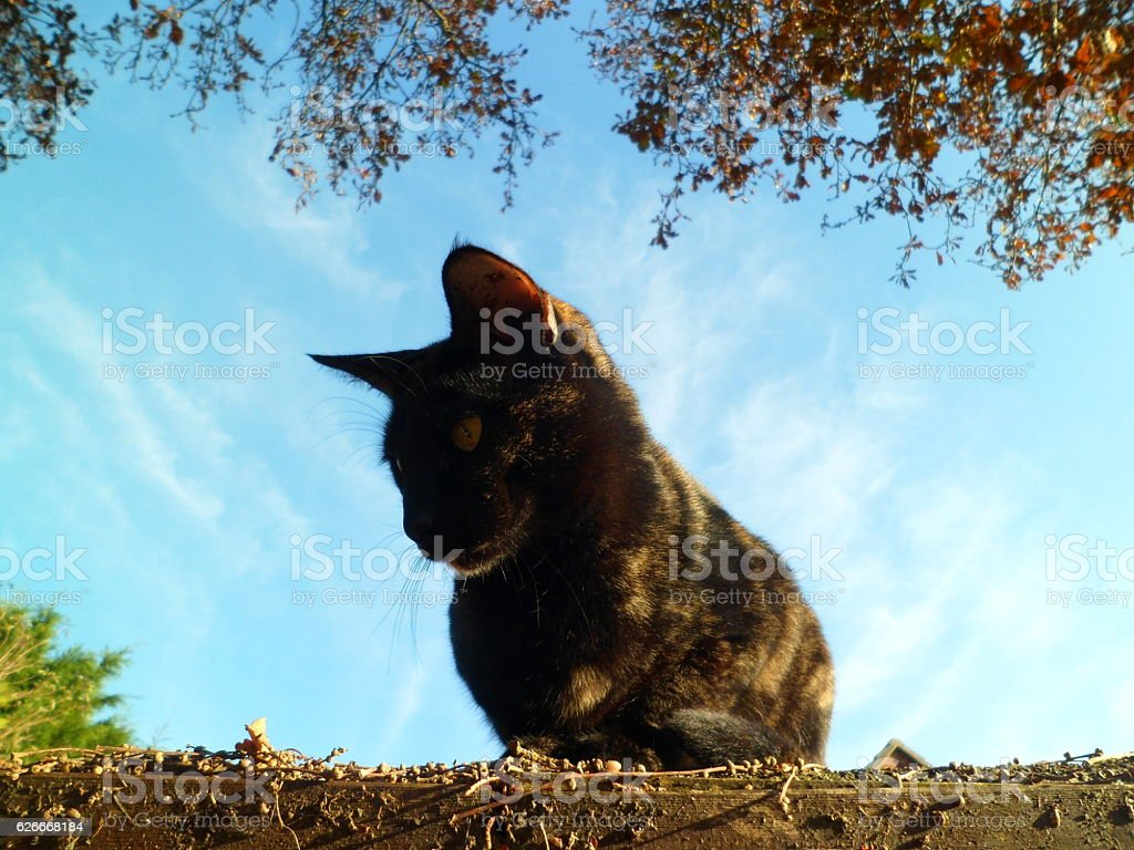 Brindled cat on shed roof, gazing downwards stock photo