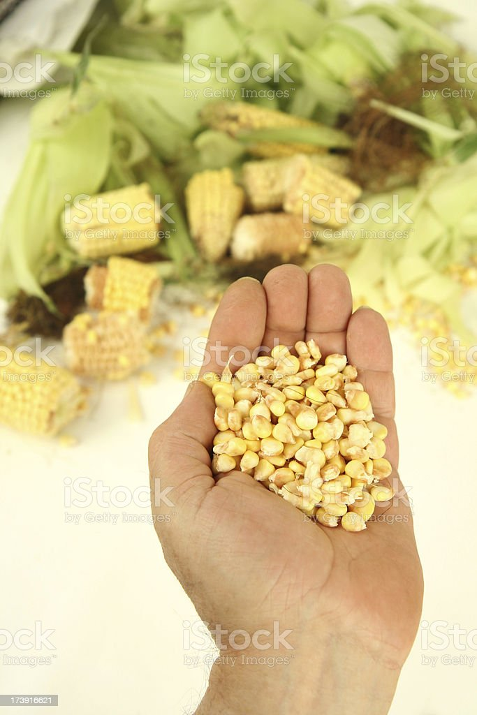 bringing corn royalty-free stock photo