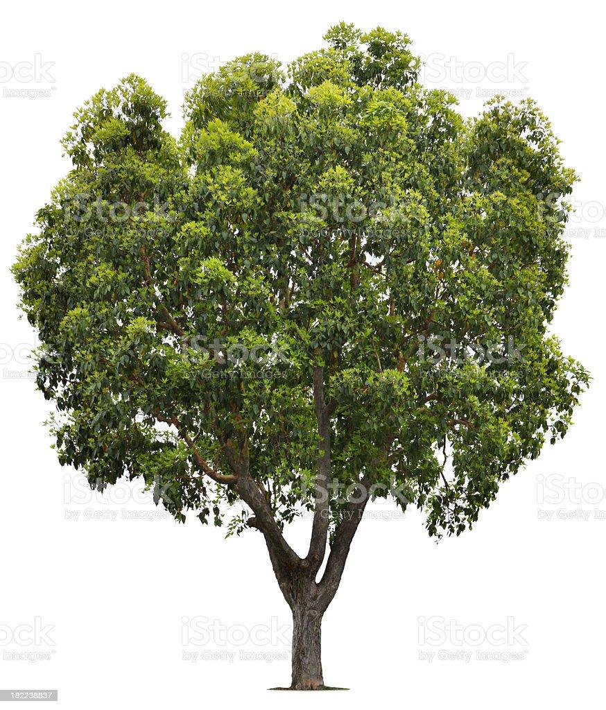 Brisbane Box Tree royalty-free stock photo