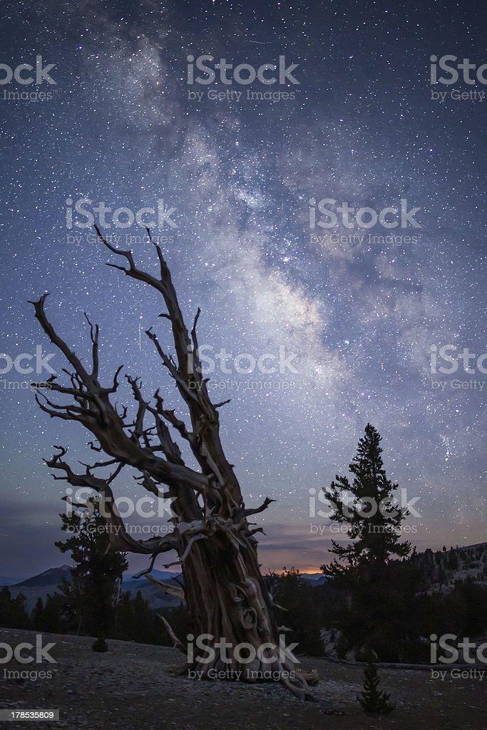 Bristle Cone Pine Milky Way royalty-free stock photo