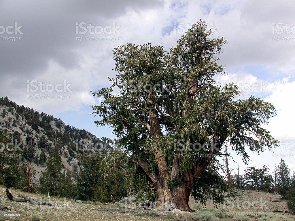 Bristle Cone Pine Tree royalty-free stock photo