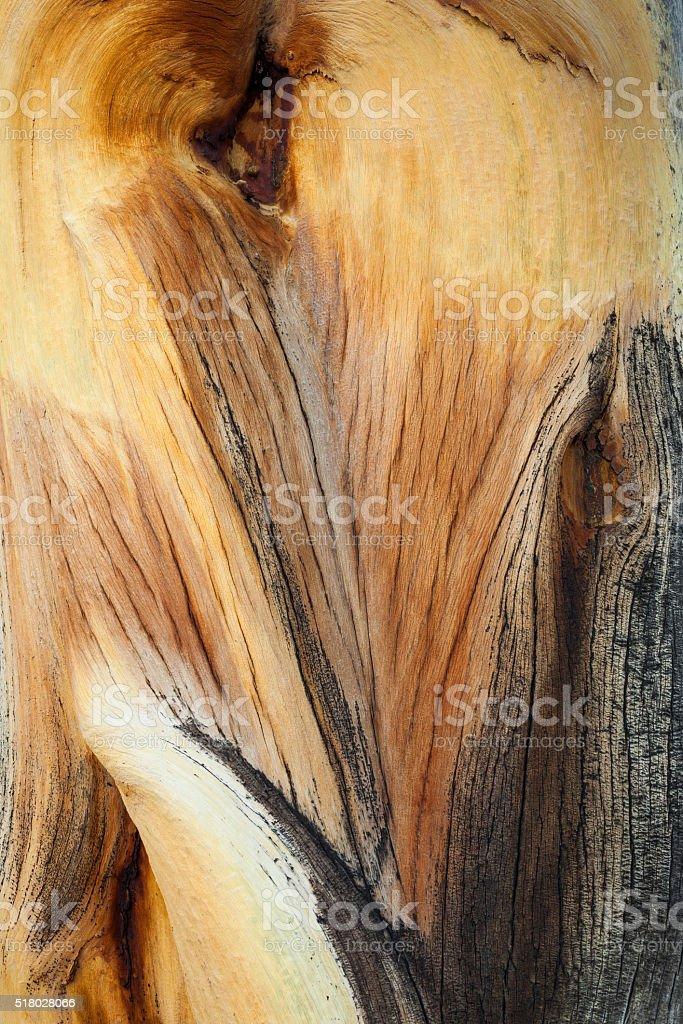 Bristle Cone tree trunk. stock photo