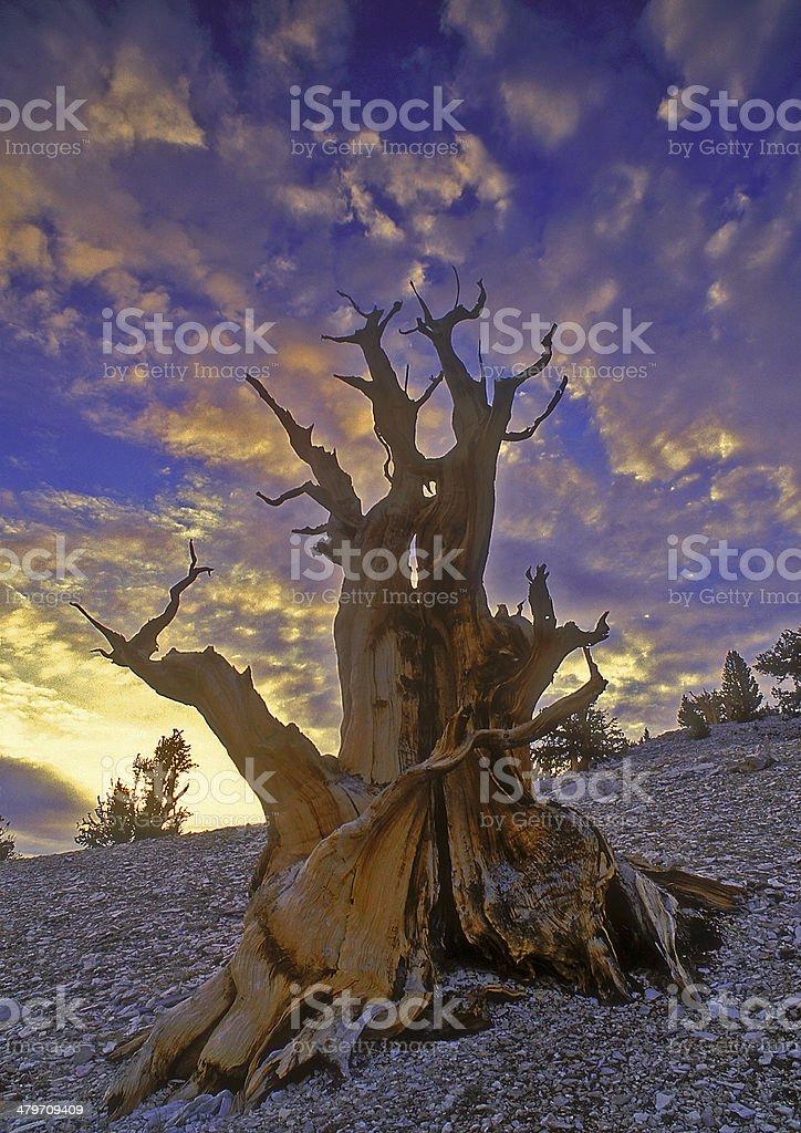 Bristlecone Dawn stock photo