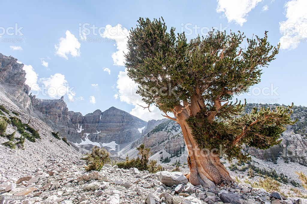 Bristlecone Landscape stock photo