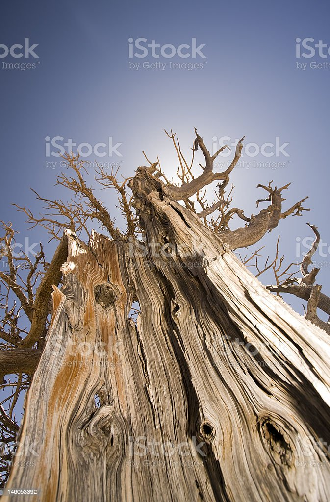 Bristlecone royalty-free stock photo