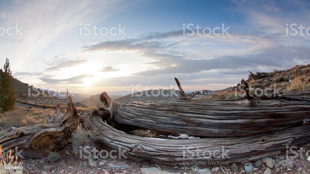 Bristlecone Pine: Ancient, Rugged, and Beautiful royalty-free stock photo