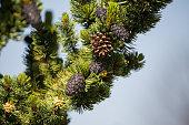 bristlecone pine and cones