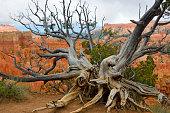 Bristlecone pine at Bryce Canyon rim