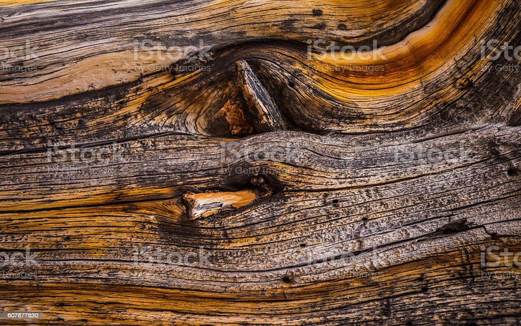 Bristlecone Pine Background stock photo