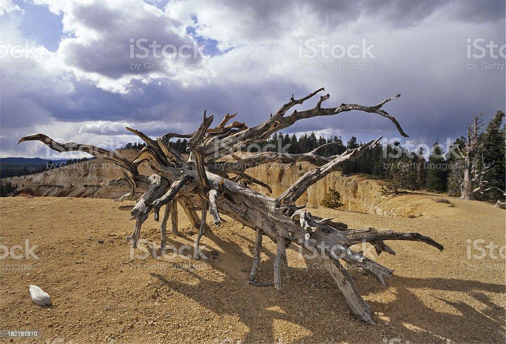 Bristlecone Pine, Bryce Canyon royalty-free stock photo