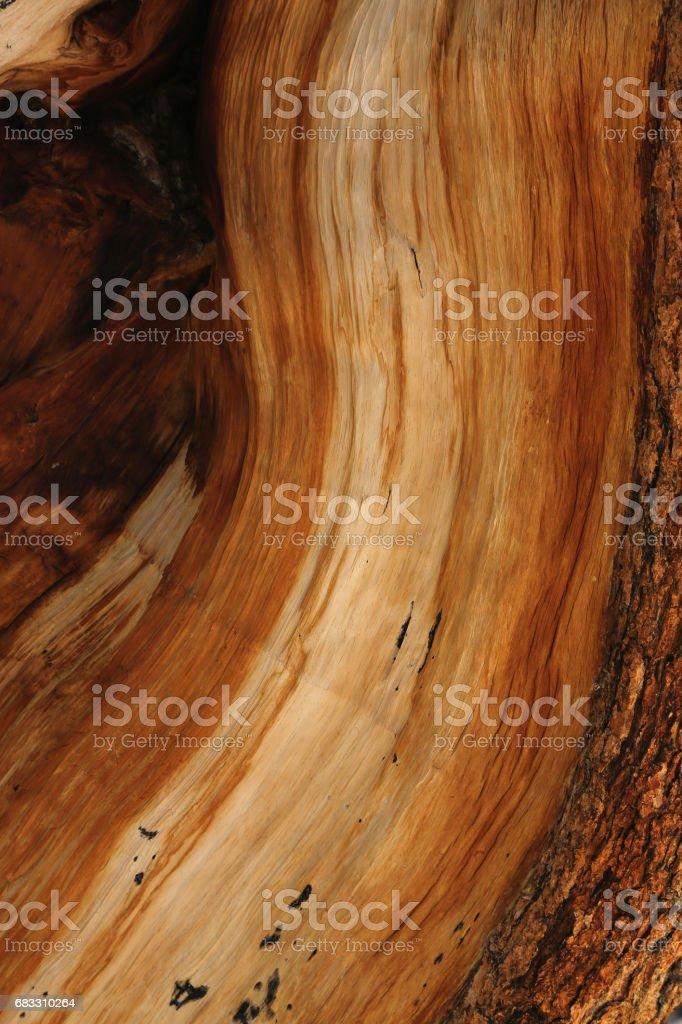 Bristlecone Pine Closeup in Great Basin stock photo