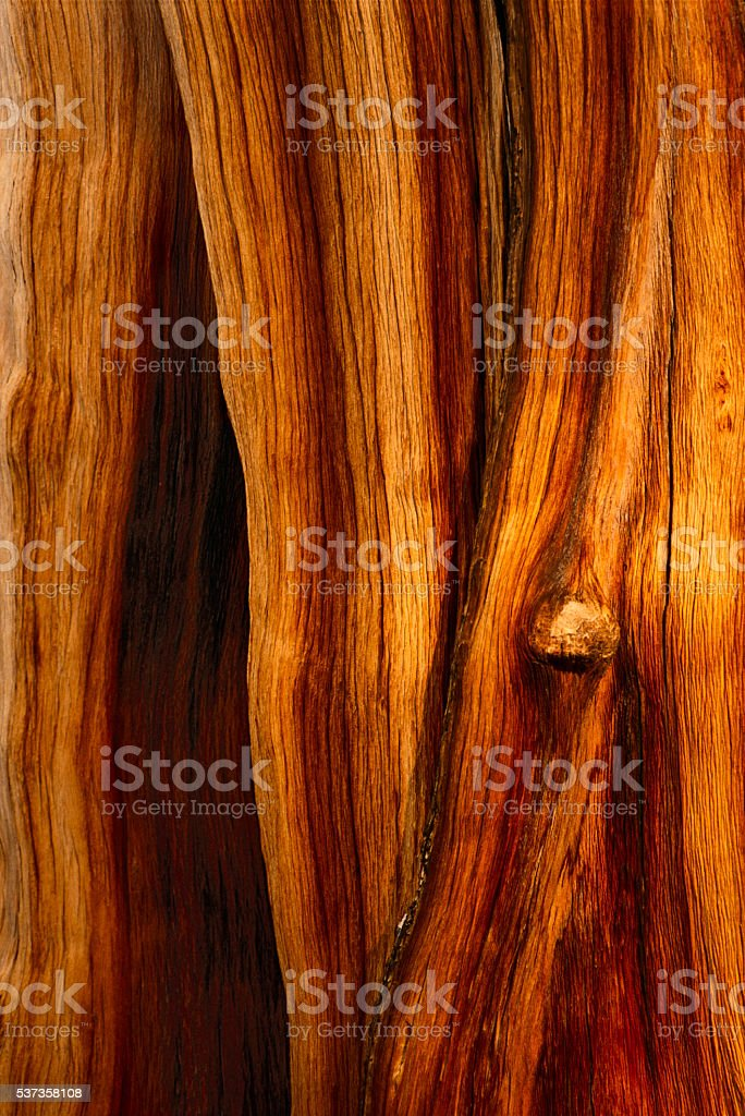 Bristlecone pine closeup stock photo