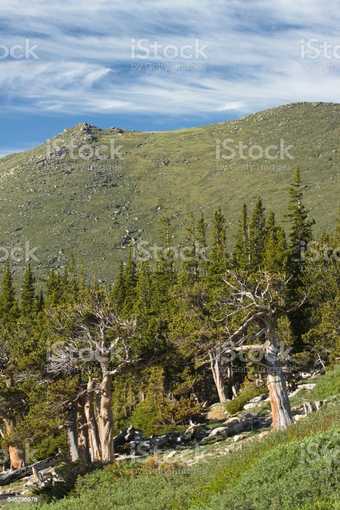 Bristlecone pine forest Mount Goliath Natural Area Mount Evans Colorado stock photo