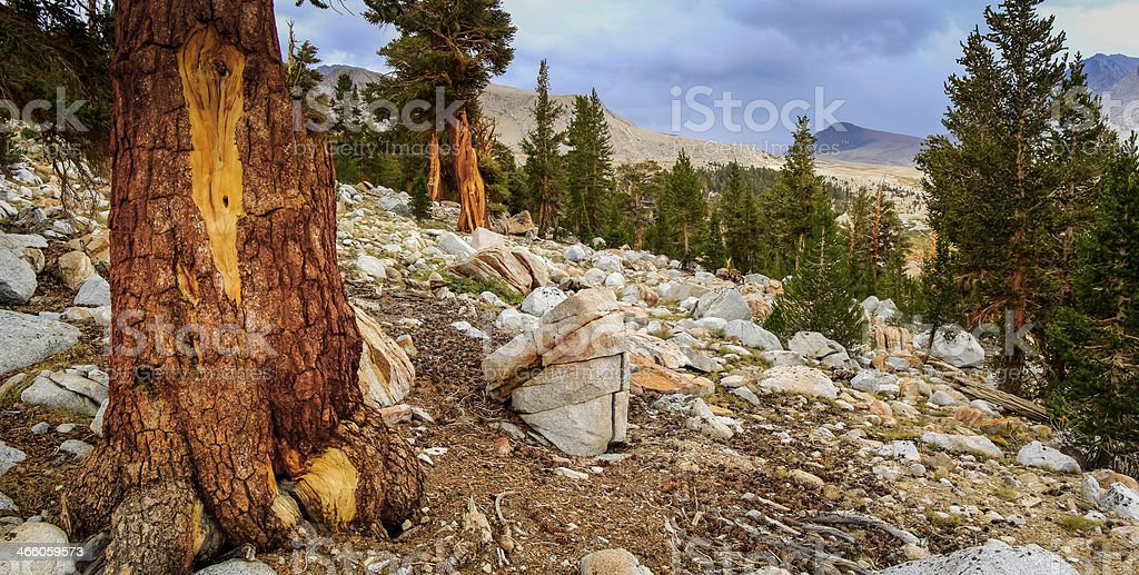 Bristlecone Pine Forest royalty-free stock photo