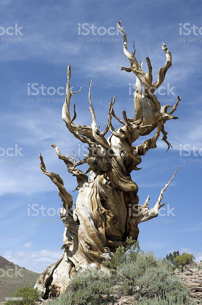Bristlecone Pine - Gnarly Dude royalty-free stock photo
