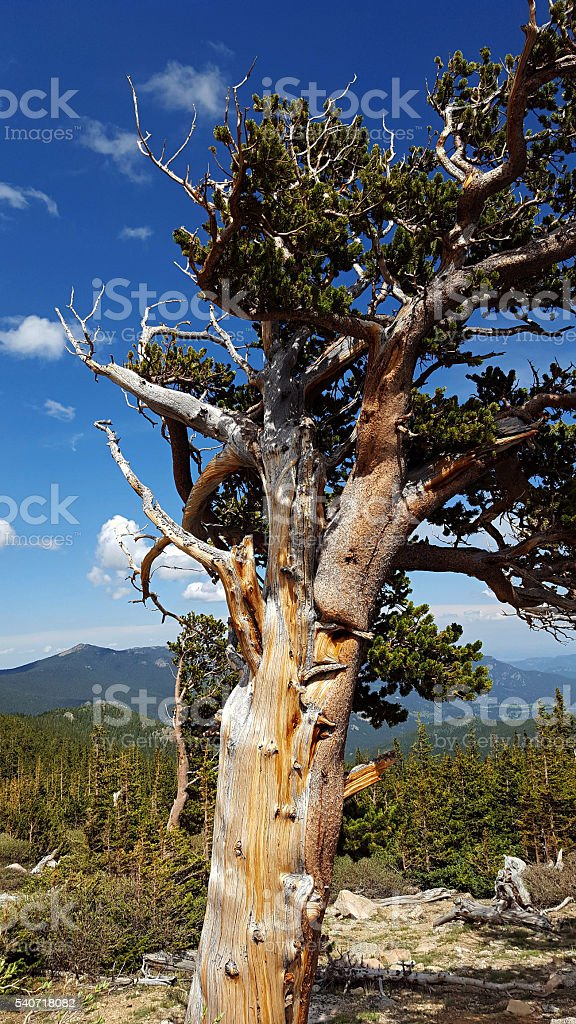 Bristlecone pine high in the mountains stock photo