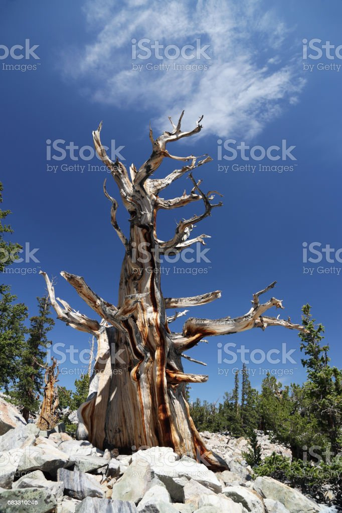 Bristlecone Pine in Great Basin stock photo